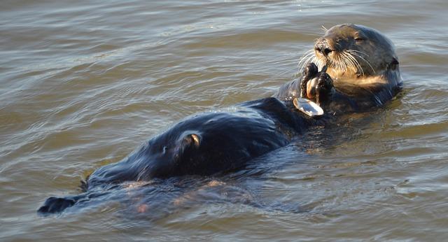 sea-otter-620093_640